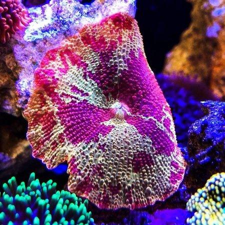 Eclectus Jawbreaker Mushroom WYSIWYG
