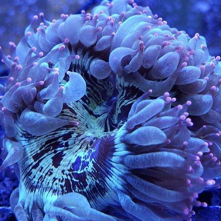 Australian Purple Tip Elegance