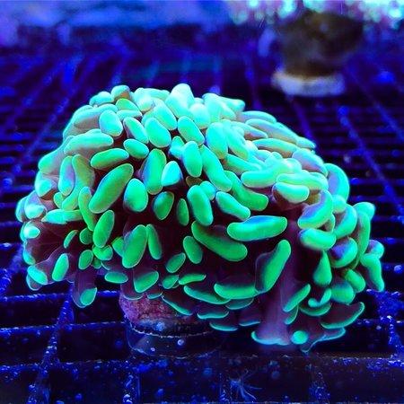 TMA Green Hammer Aussie