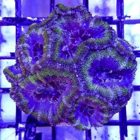 TMA Blue/Green Acan Colony WYSIWYG