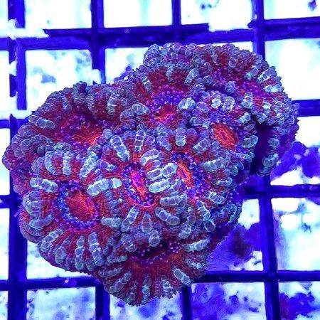 TMA Multicolor Acan Colony WYSIWYG