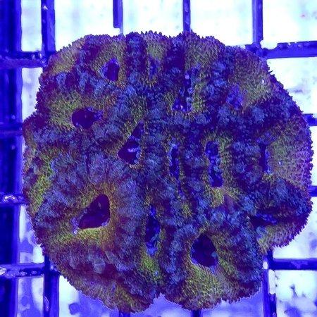 TMA Green/Blue Acan Colony WYSIWYG