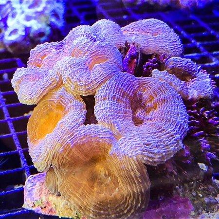 Blue/Pink Indo Lobophyllia