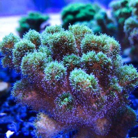Green Pocillopora Frag