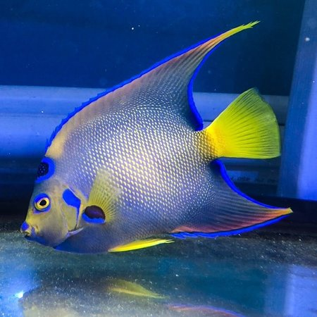 Queen Angelfish (Holacanthus ciliaris) Juvenile