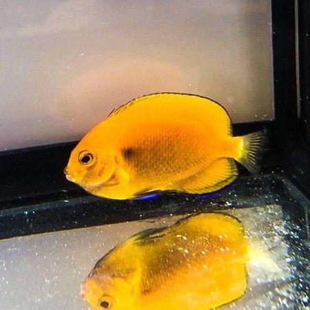 Fisher's Angelfish (Centropyge fisheri)