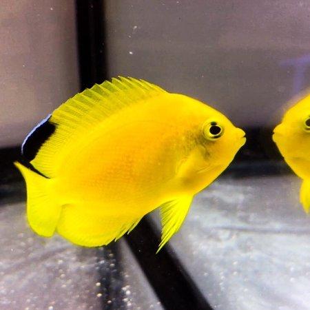 Woodhead's Angelfish (Centropyge woodheadi)
