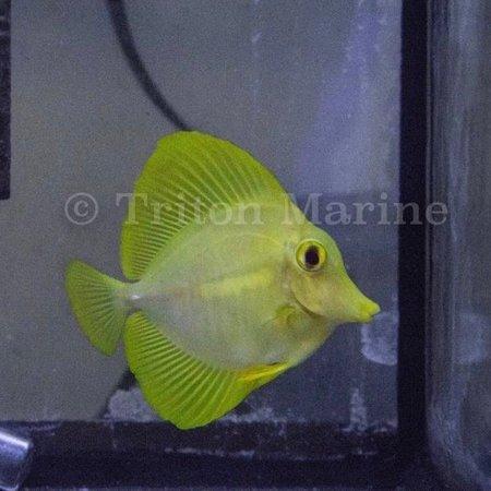 Yellow Tang (Zebrasoma flavescens) Captive Bred