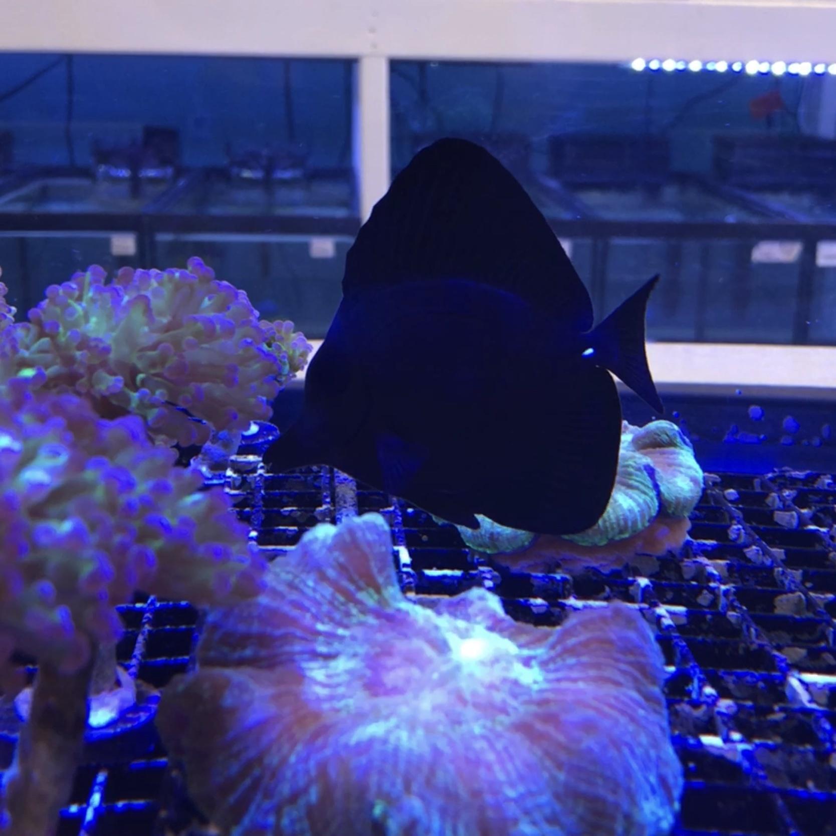 Black Longnose Tang (Zebrasoma rostratum)