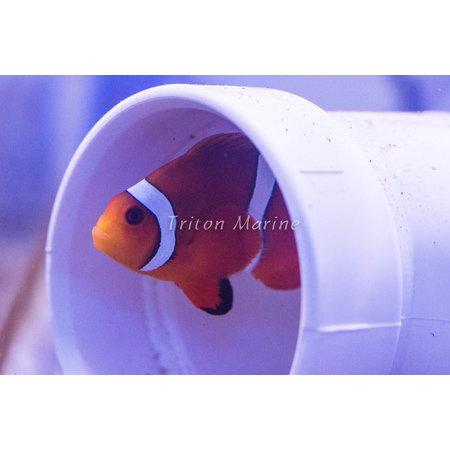 Mai Tai Clownfish (A. ocellaris x P. biaculeatus) Captive-Bred