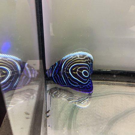Emperor Angelfish (Pomacanthus imperator) Sub-Adult