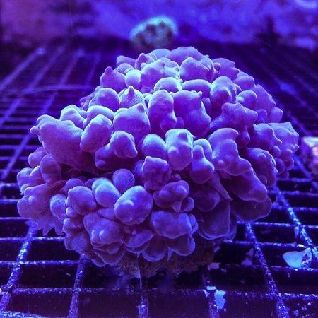 Bubble Coral WYSIWYG