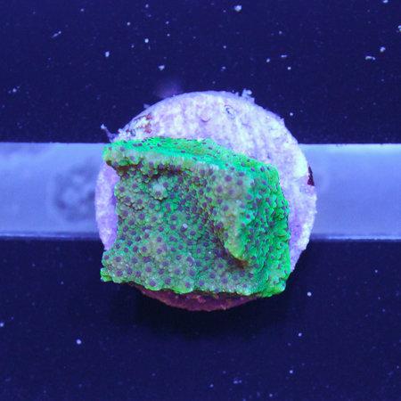 TMA Purple Polyp Montipora Frag