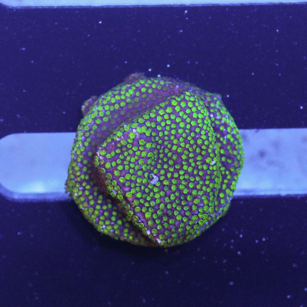 TMA Red/Green Encrusting Montipora Frag