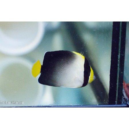 Singapore Angelfish (Chaetodontoplus mesoleucus)