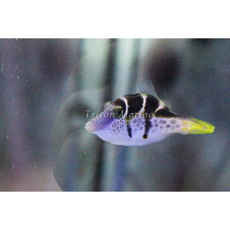 Mimic Saddle Puffer (Paraluterus prionurus) Filefish