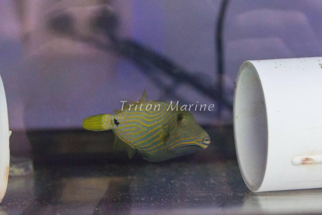 undulate triggerfish balistapus undulatus triton marine aquaculture