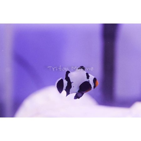 Black Ice Clownfish (Amphiprion ocellaris) Captive Bred