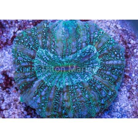 Green Acanthophyllia