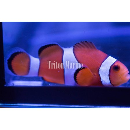 Ocellaris Clowns (Amphiprion ocellaris) Captive Bred G