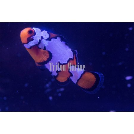 Snowflake Clownfish (Amphiprion ocellaris) Captive Bred G