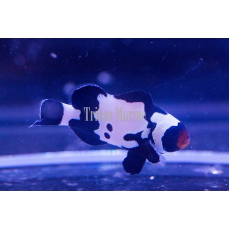 Black Snowflake Clownfish w/Bullet holes (Amphiprion ocellaris) Captive Bred G