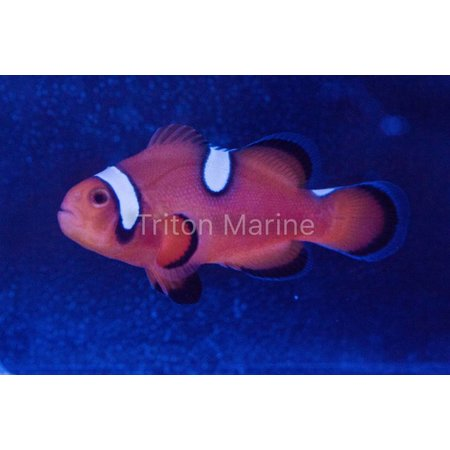 Nearly Naked Mochaccino (Amphiprion Ocellaris) Captive Bred G