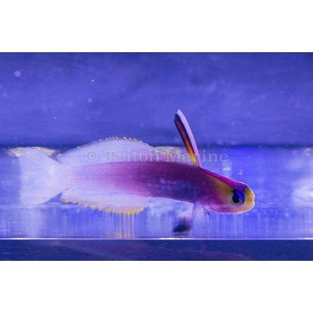 Firefish, Helfrichi (Nemateleotris helfrichi)
