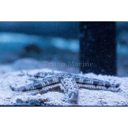 Sand Sifting Sea Star (Astropecten polycanthus)