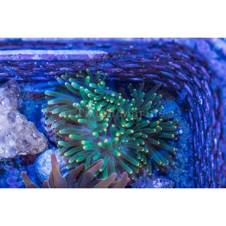 Green Bubble Anemone