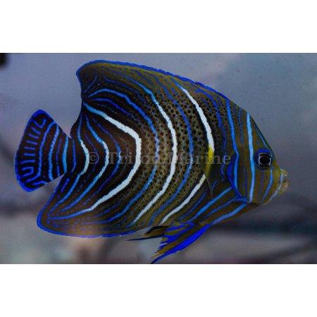 Koran Angelfish (Pomacanthus semicirculatus) JUV