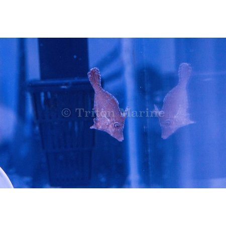Captive Bred Matted Filefish (Acreichthys tomentosus) G