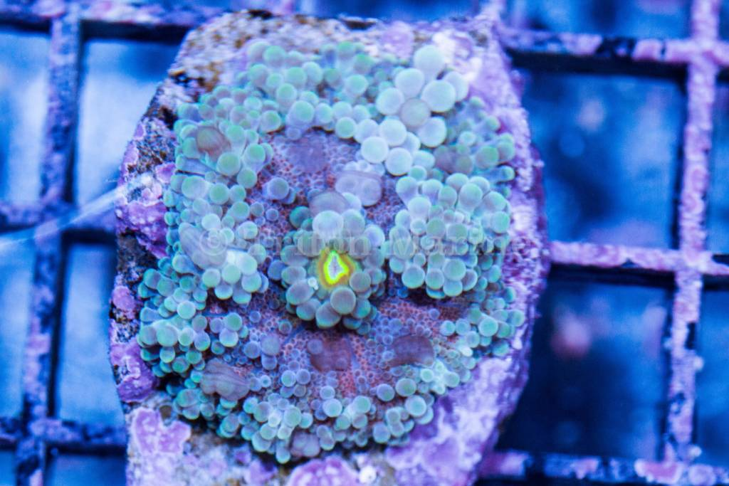TMA Rainbow Yuma Mushroom