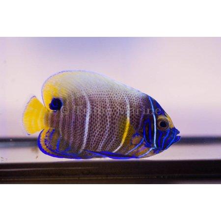 Blueface Angelfish (Pomacanthus xanthometopon) Sub-Adult