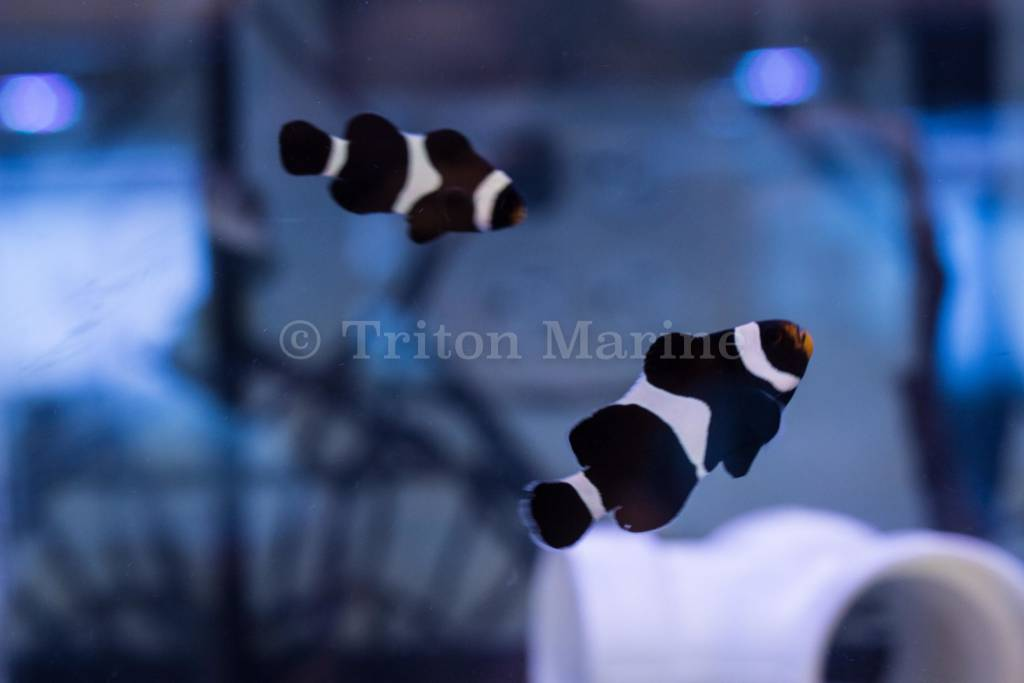 black ocellaris clown amphiprion ocellaris captive bred g triton