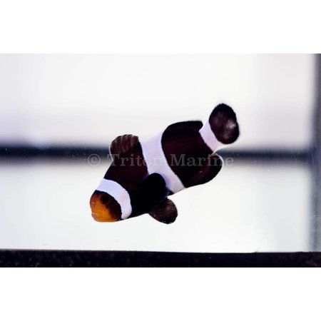 Chocolate Mocha Clownfish (Amphiprion ocellaris) Captive Bred G