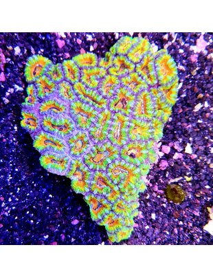 Coral - Acan Lord RAINBOW (XLg)