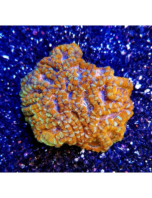 Coral - Acan Lord Grade A (Md/Lg)