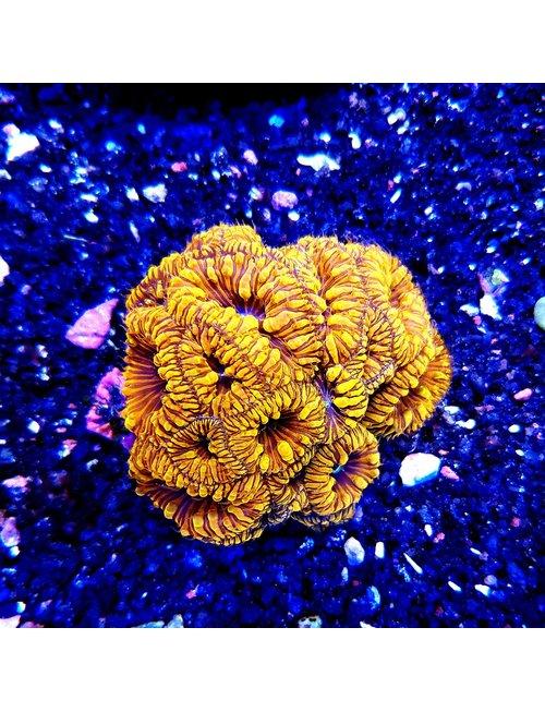 """Coral - Blastomussa Wellsi """"Blasto"""" (Sm 2"""")"""