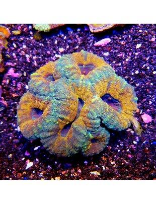Coral - Lobophyilla Brain ULTRA (Lg)
