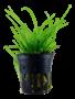 Tropica Sagittaria Subulata - Potted