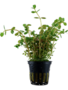 Tropica Rotala Rotundifolia - Potted