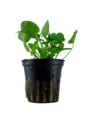 """Tropica Nymphoides Hydrophylla """"Taiwan""""- Potted"""