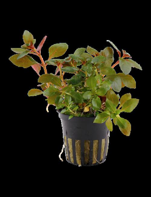 Tropica Ludwigia Repens 'Rubin' - Potted