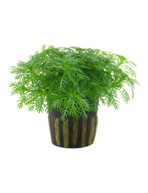 Tropica Hottonia Palustris - Potted
