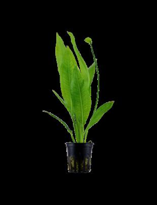 Tropica Echinodorus 'Bleherae' - Potted