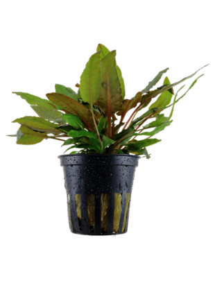 Tropica Cryptocoryne wendtii 'Tropica' - Potted