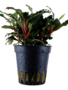 Tropica Bucephalandra 'Red' - Potted