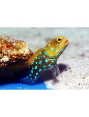 Jawfish - Blue Dot Goby (Md)