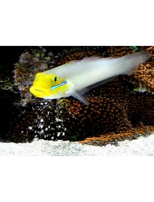 Goby - Golden Headed Sand Sifting Sleeper